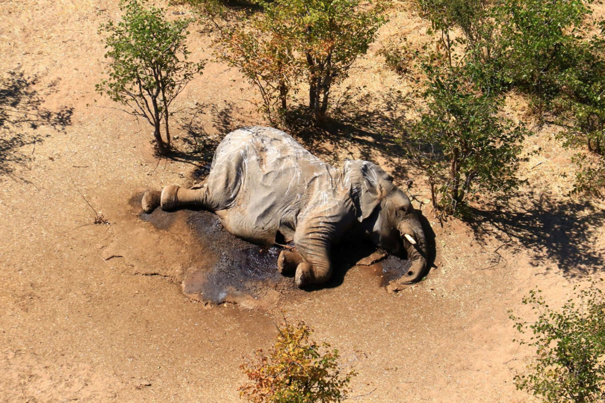 Botswana elephant deaths may be due to pachyderm pathogen