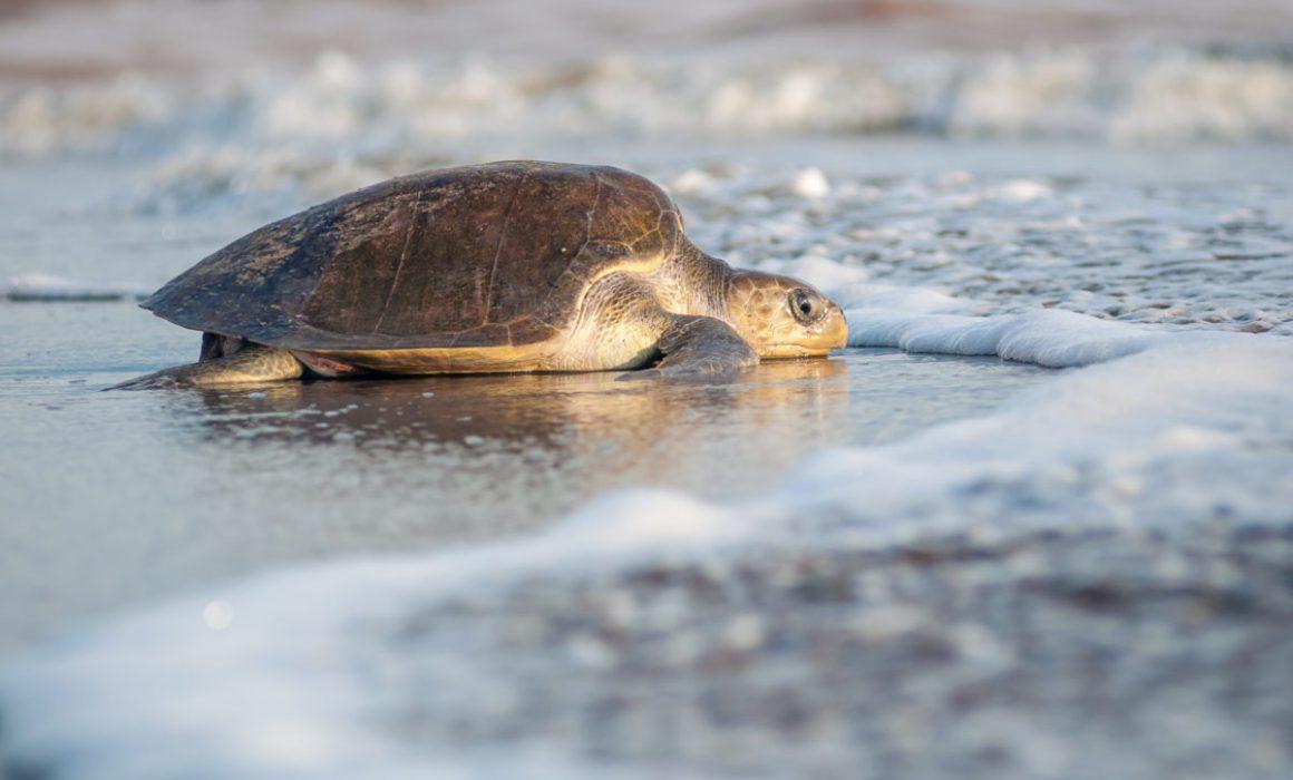 Puerto Vallarta expects to register around 3,000 turtle nests this year