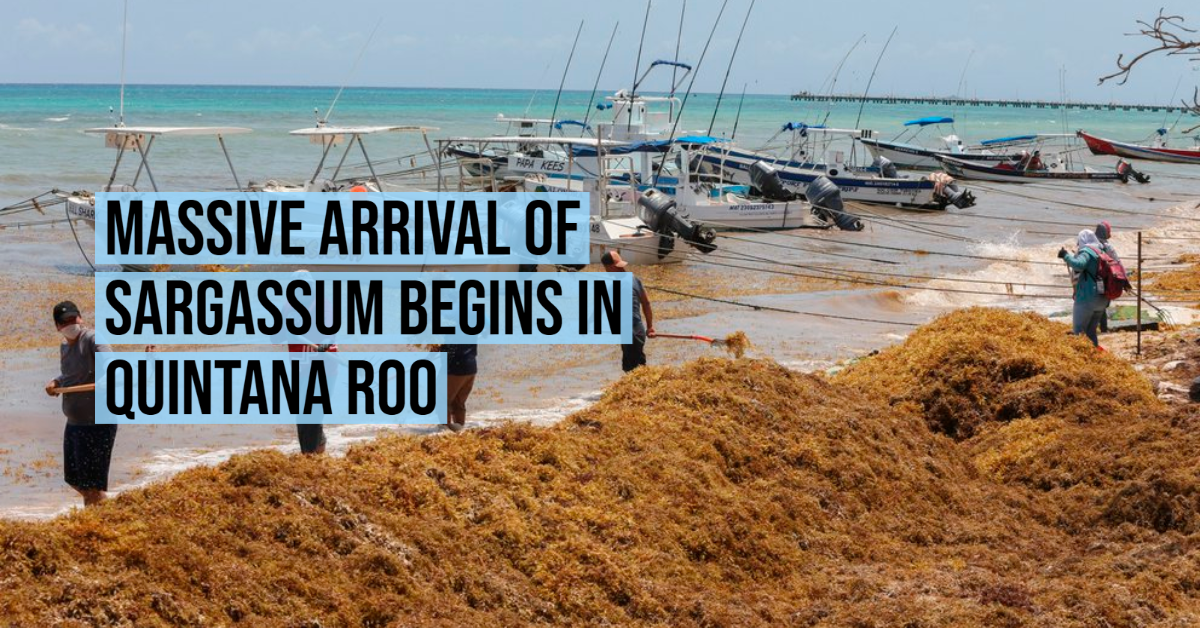 Massive arrival of sargassum begins in Quintana Roo