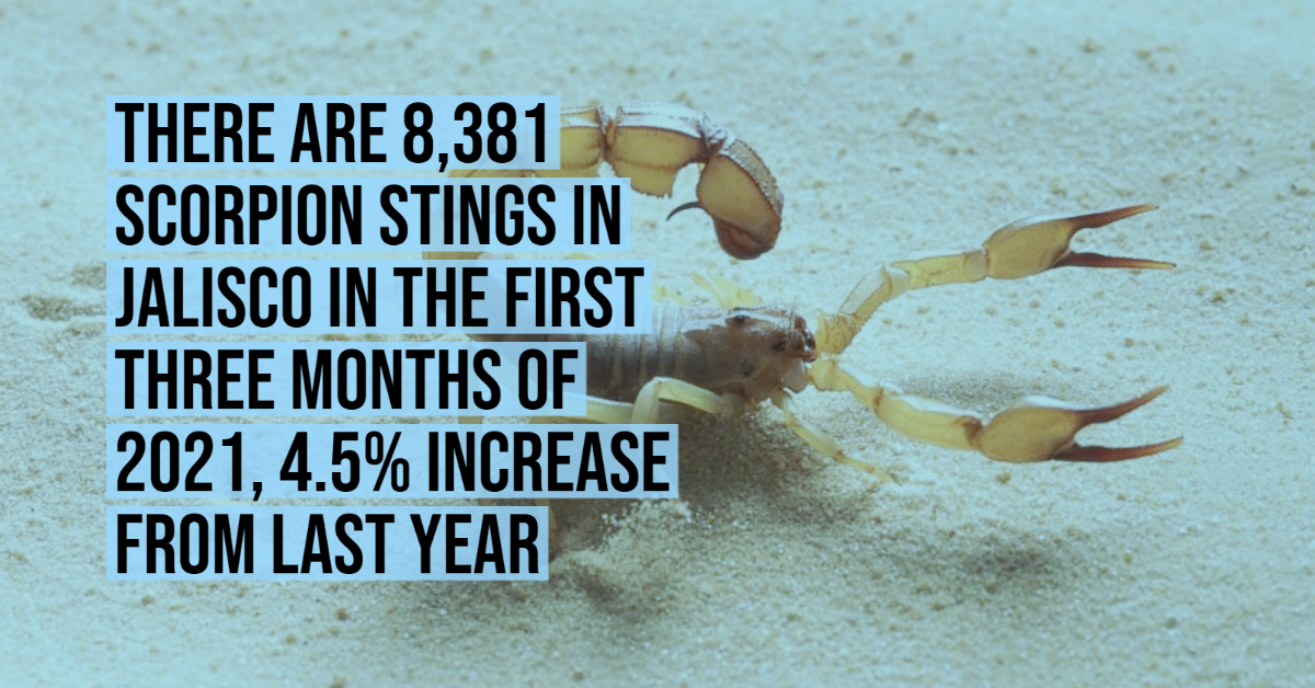 There are 8,381 scorpion stings in Jalisco in the first three months of 2021, 4.5% increase from last year