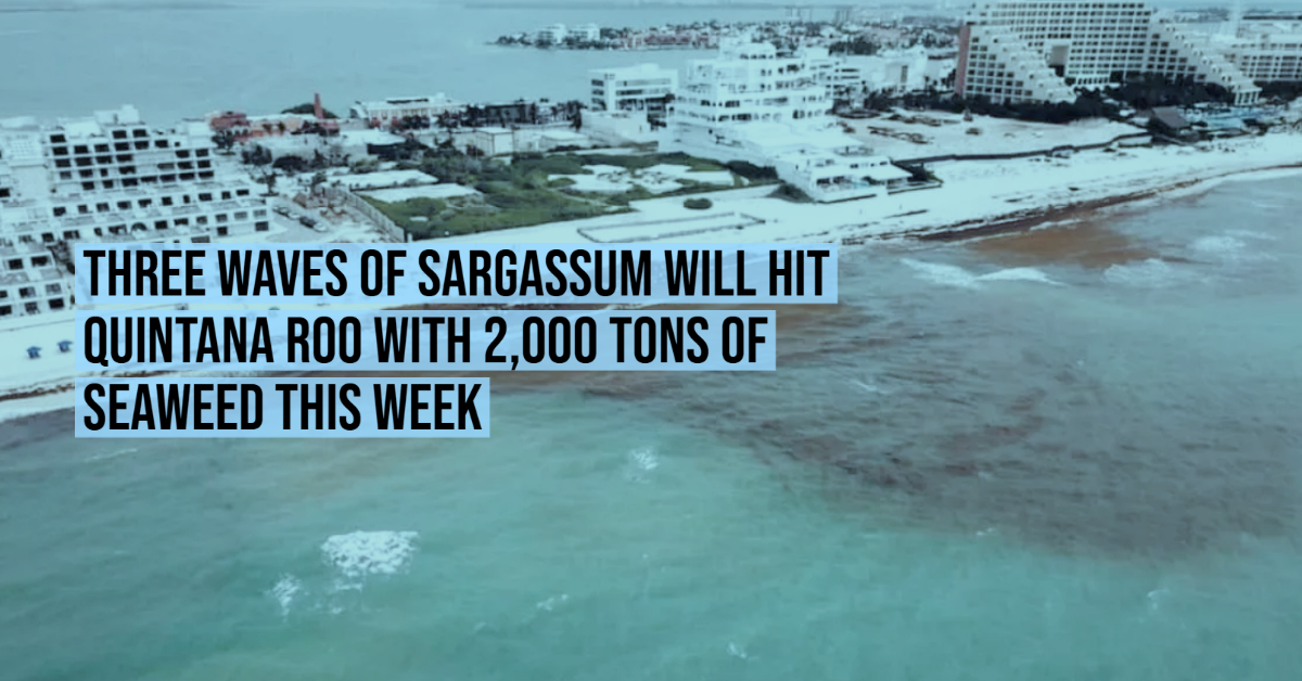 Three waves of sargassum will hit Quintana Roo with 2,000 tons of seaweed this week